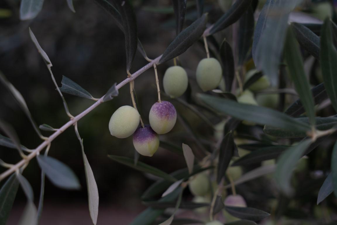 Olijven-13.jpg