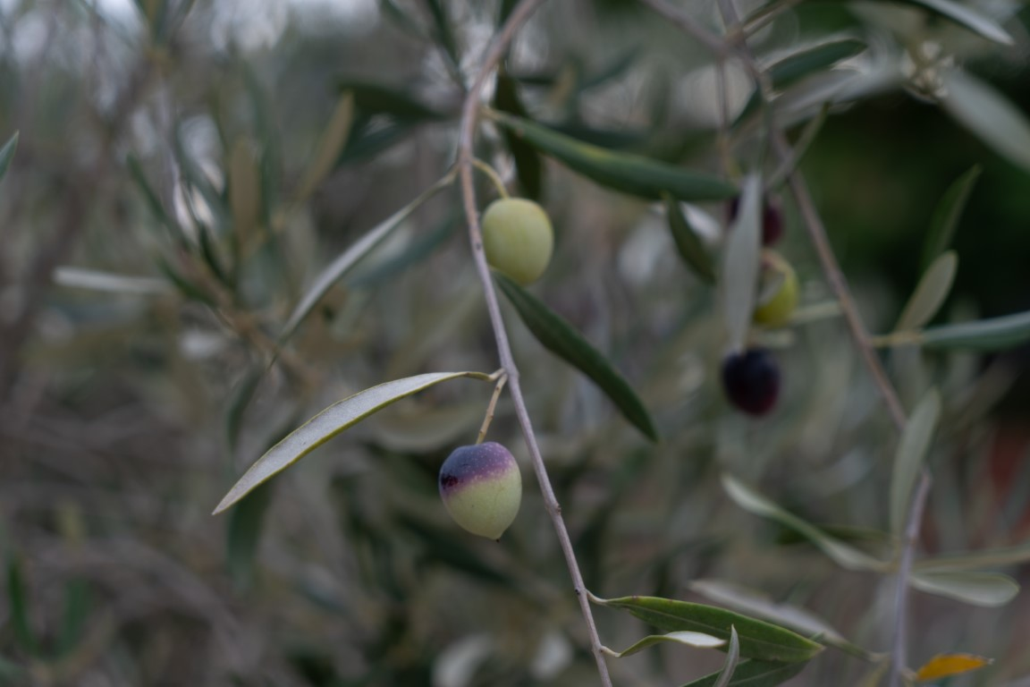 Olijven-4.jpg